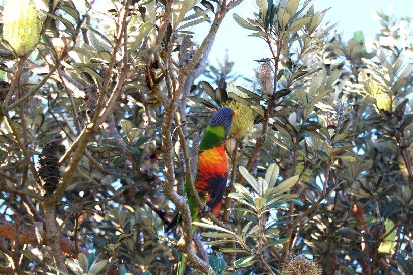 rainbow lorikeet Lennox Head banksia