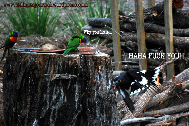 rainbow lorikeets pied currawong eating on tree stump