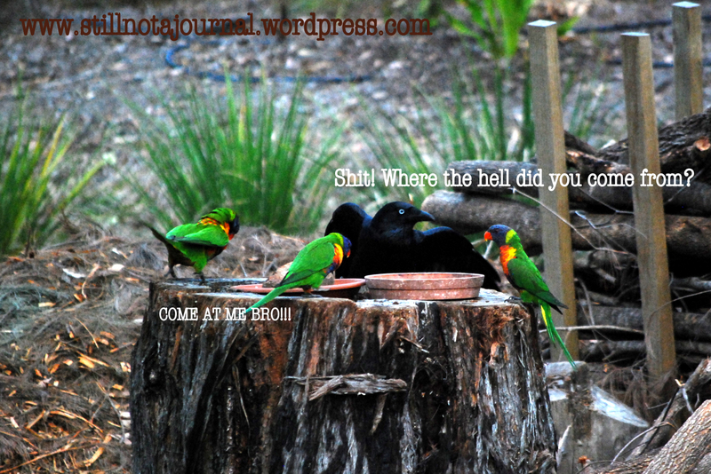 crow and rainbow lorikeets feeding on stump