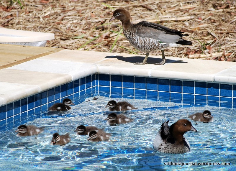 Australian wood ducks with ducklings in swimming pool