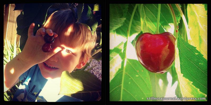 Roars doing his bit to help scoff harvest the cherries. CHERRIES!! *drooool*