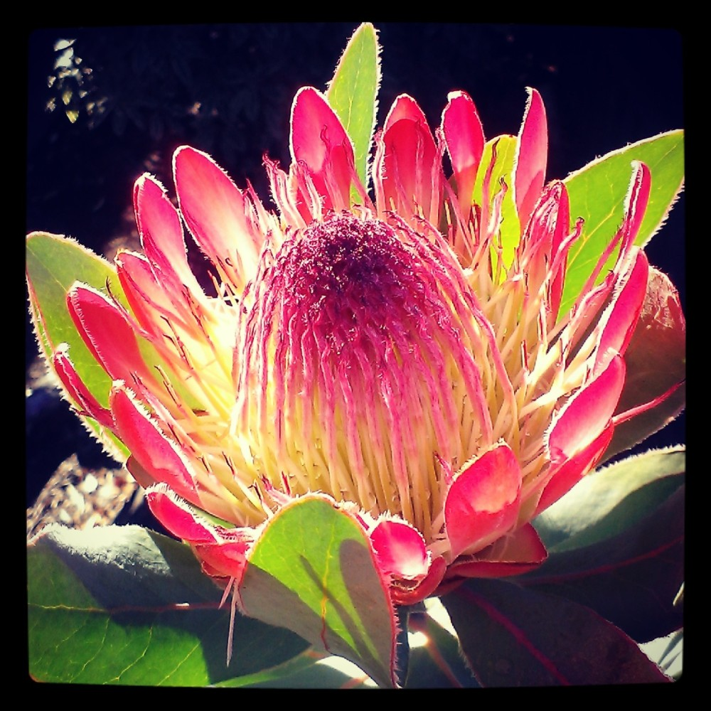 Back in March Dad even got to see his protea flower for the first time.
