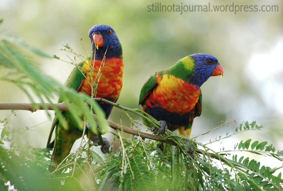 New and Improved: Two Renly Baratheons, aka Rainbow Lorikeets.