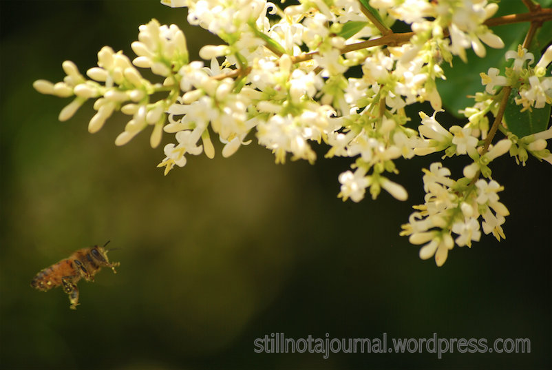 New and Improved: Bee diving into tiny white flowers.