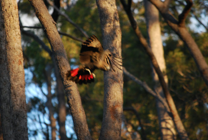 Old and Inferior: A gorgeous Glossy Black Cockatoo in flight. A vulnerable species, their diet consists almost exclusively of the seeds of the native casuarina pine - they like the ones on our block so they'll be back. Even so, I will spew forever that I stuffed up this shot.