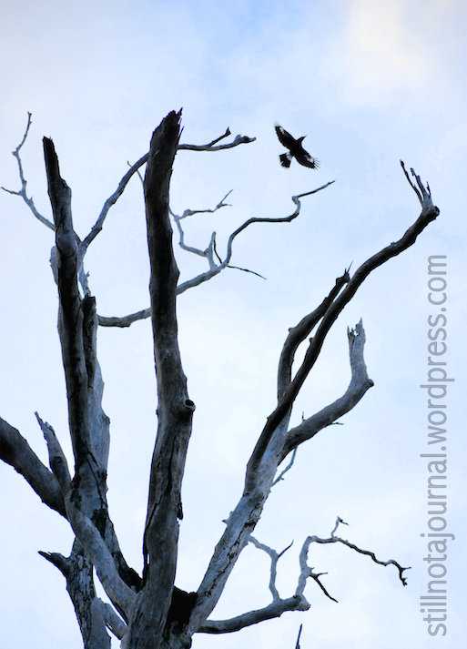 New and Improved: A less exotic but just as beautiful Australian magpie exiting my favourite dead tree.