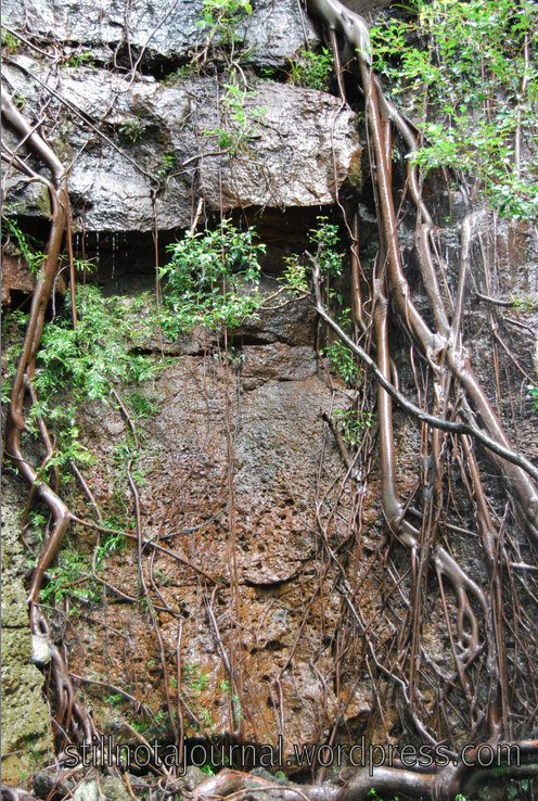 Some variety of fig - I'd say Strangler Fig but it's growing over rocks not a tree. The water coming down is I *think* part of Bellbird Creek.