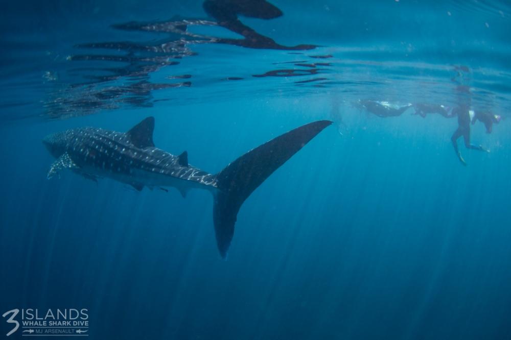whale shark backlit Ningaloo Reef