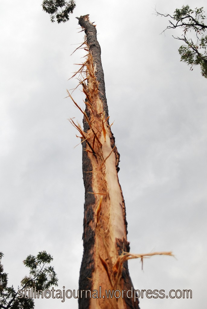 Lightning struck tree