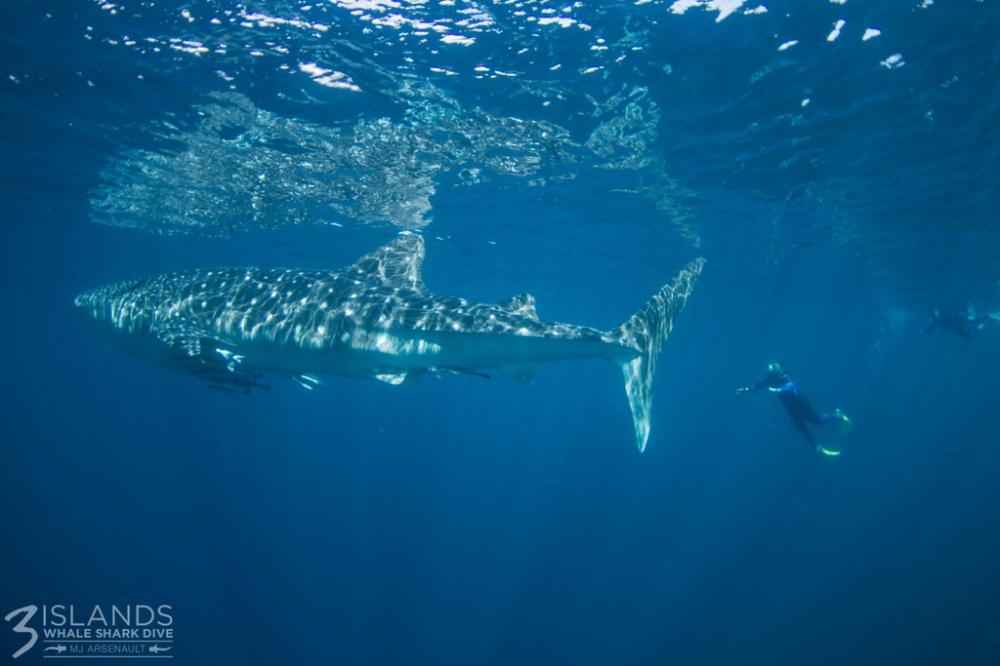 Whale shark swag