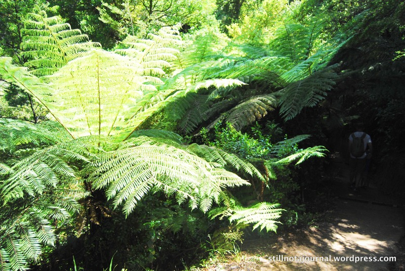 silver fern on Abel Tasman Coastal Track