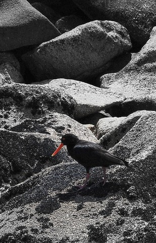 oystercatcher, Abel Tasman National Park