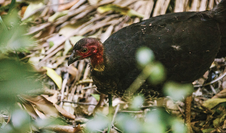 Australian brush turkey (Alectura lathami). ... He's a Latham? Aw, maybe he just wanted to play cricket!
