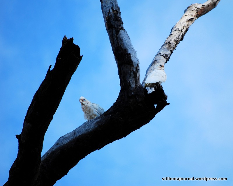 A mated pair of little corellas checking out a prospective nest. They looked like they were chewing out the inside of that big branch - home renovations?