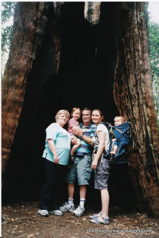 Huge hollow tree, Springbrook National Park
