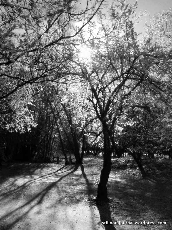 backlit-cherry-trees-queenstown-trail