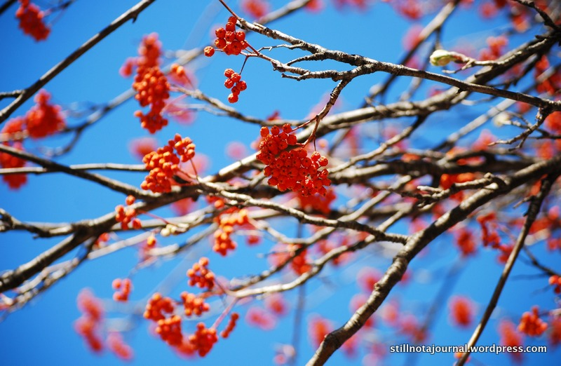 brilliant-red-berries Japanese Rowan tree berries