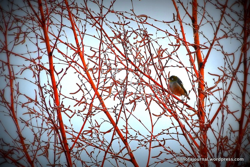 red robin bird in tree Wanaka